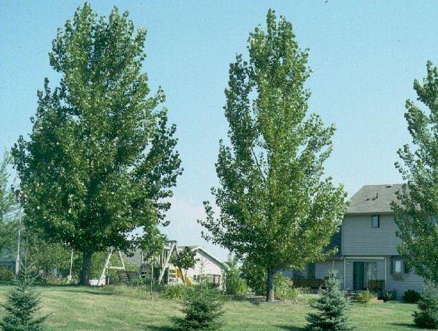 Siouxland Cottonwood