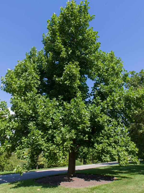 Tuliptree Liriodendron Tulipifera Great Plains Nursery