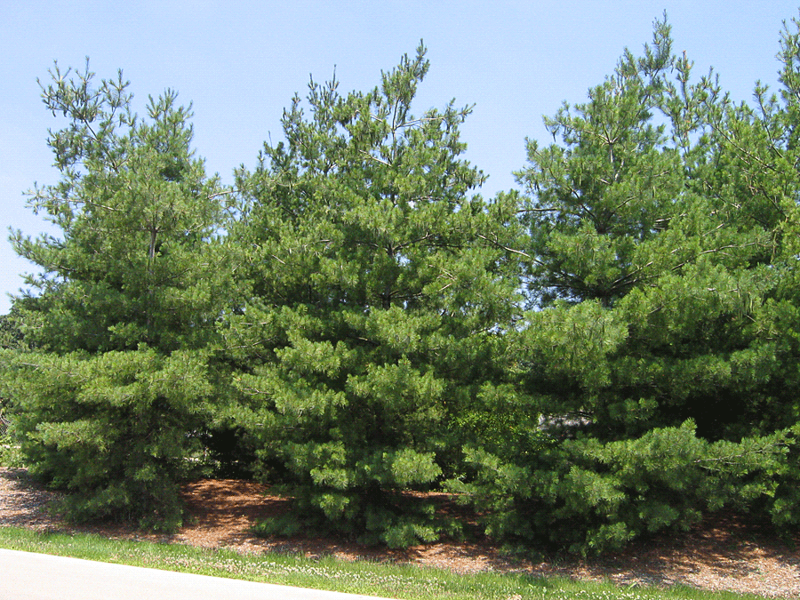 White Pine | Ultimate Tree Care Guide For Homesteading