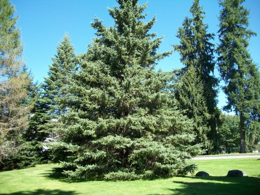 White Spruce Picea Glauca Great Plains Nursery