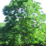 Kentucky Coffeetree (Gymnocladus dioicus)