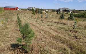windbreak tree nursery