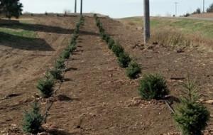 windbreak tree farm