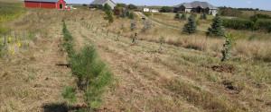 windbreak trees nebraska