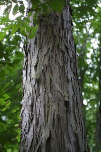 Carya laciniosa bark