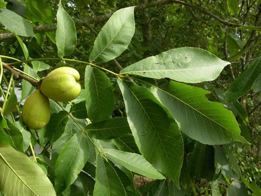 Carya laciniosa leaf