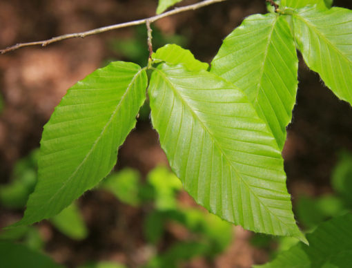 Fagus grandifolia leaf