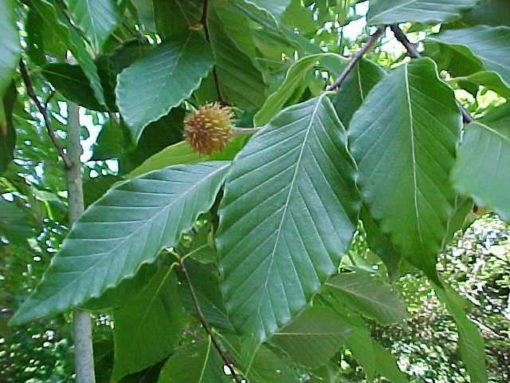 Fagus grandifolia fruit