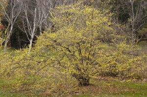 Hamamelis virginiana fall