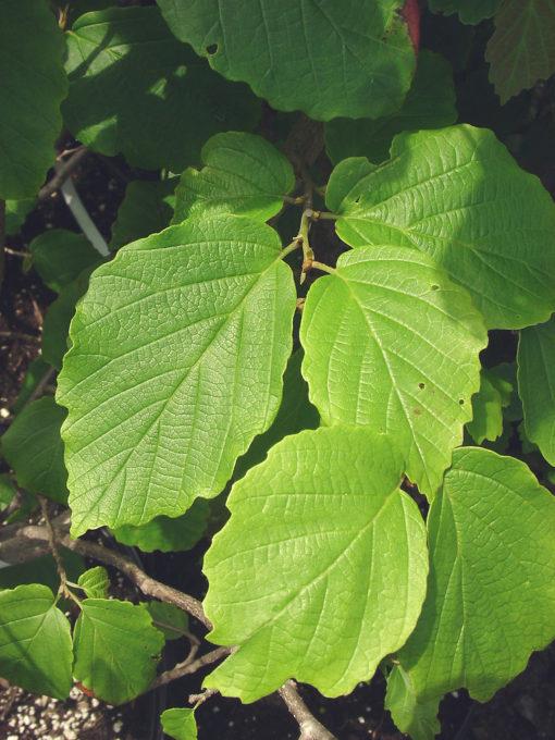 Hamamelis virginiana leaf