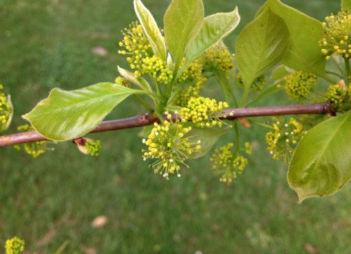 Nyssa Sylvatica flower