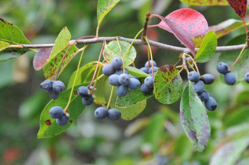 Nyssa sylvatica fruit