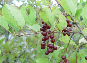 Prunus virginiana berries