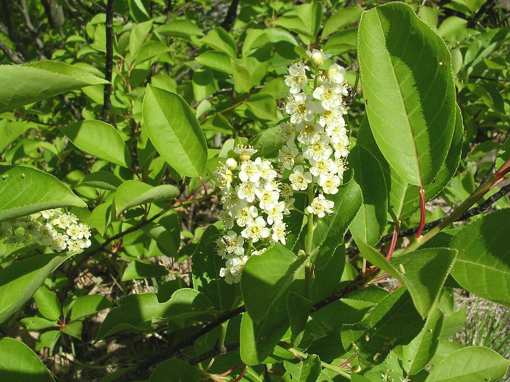 Prunus virginiana flower