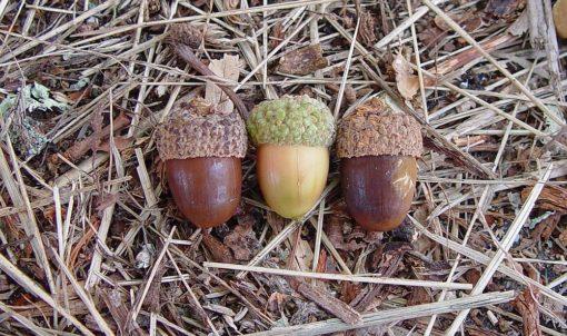 Quercus alba acorns