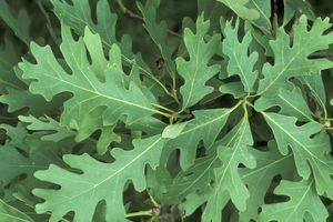 Quercus alba leaves