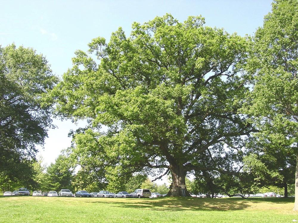 White Oak Quercus Alba Great Plains Nursery