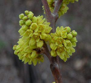 Rhus aromatica flowers