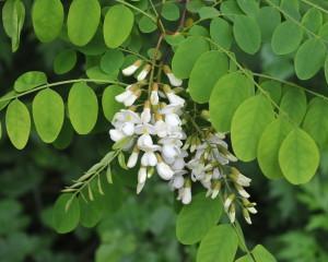Robinia pseudoacacia leaf flower