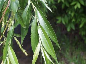 Salix nigra leaf