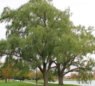 Salix nigra tree