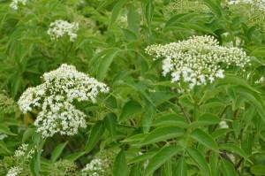Sambucus canadensis flowers