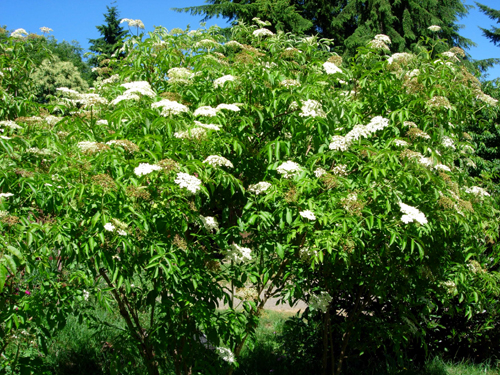 American Elderberry Sambucus Canadensis Great Plains