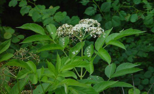 Sambucus nigra flower