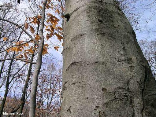fagus grandifolia big bark
