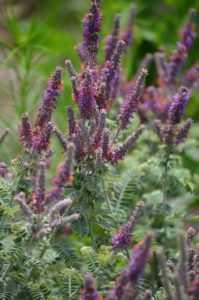 lead plant amorpha canescens