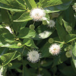 Sugar Shack Buttonbush (Cephalanthus occidentalis 'SMCOSS')