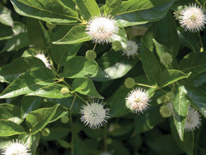 Cephalanthus occidentalus sugar shack
