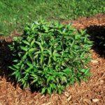 Cornus racemosa (Hurzam)