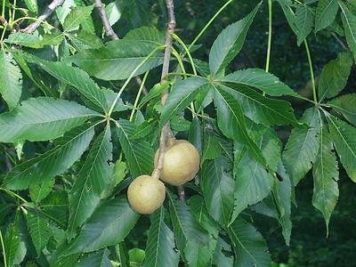 aesculus glabra var arguta seed