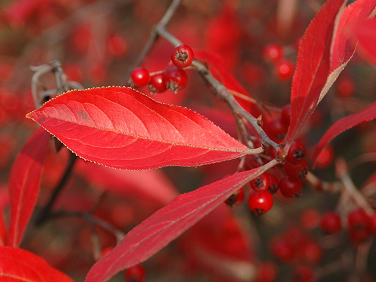 aronia arbutifolia brilliantissima fall berries