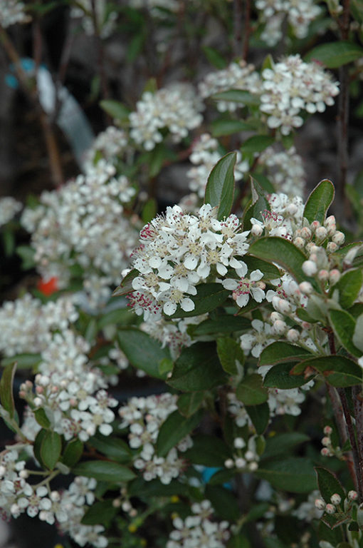aronia arbutifolia brilliantissima flowers