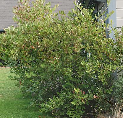 aronia arbutifolia brilliantissima