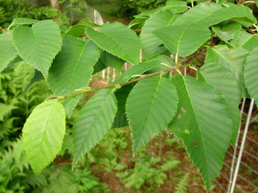 betula alleghaniensis leaf