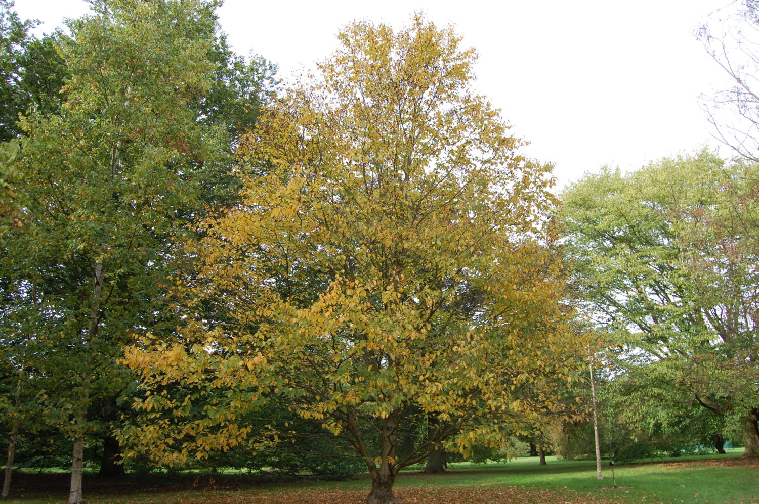 Yellow Birch (Betula a...