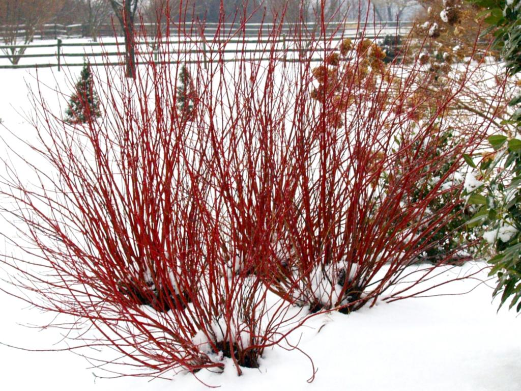 cornus sericea arctic fire winter