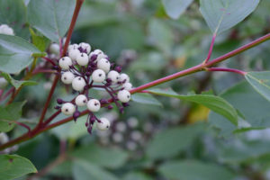 cornus sericea arctic fire berries