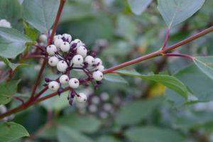 cornus sericea arctic fire berries