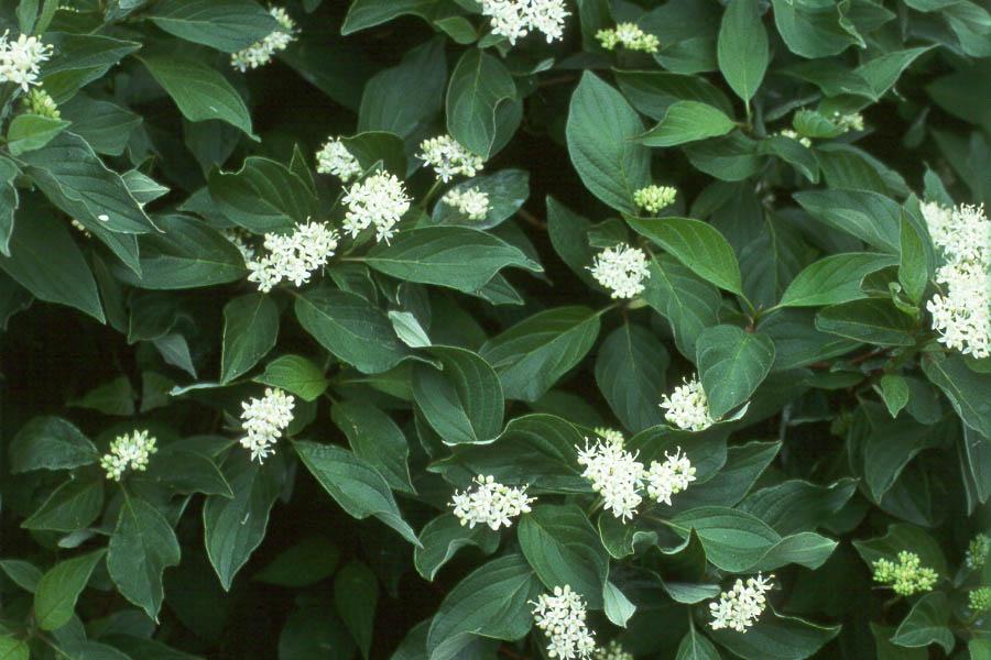 cornus sericea isanti flowers
