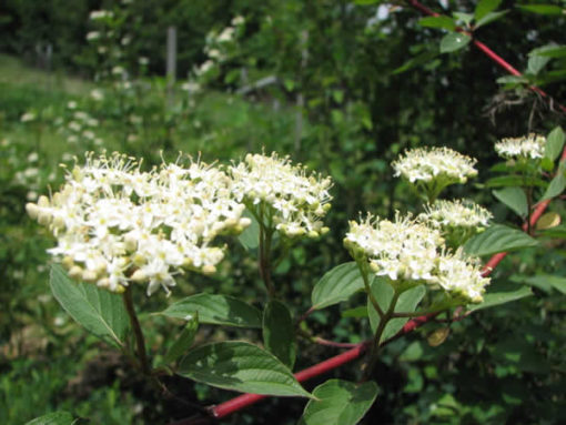 cornus sericea flowers
