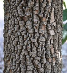 diospyros virginiana bark