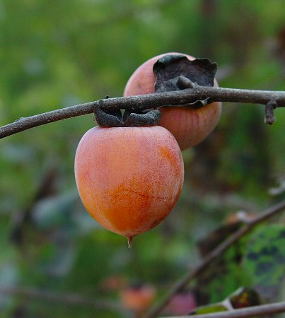 diospyros virginiana fruit