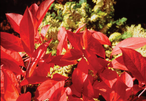 itea virginica sprich fall color