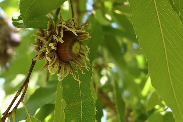 quercus acutissima acorn