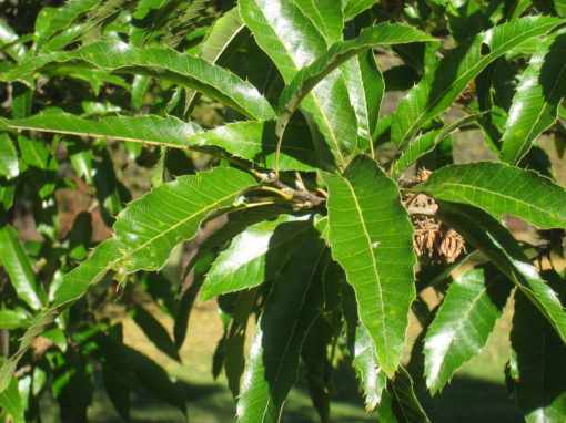 quercus acutissima leaves
