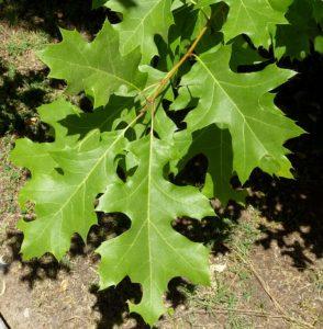 Nebraska quercus buckleyi leaves